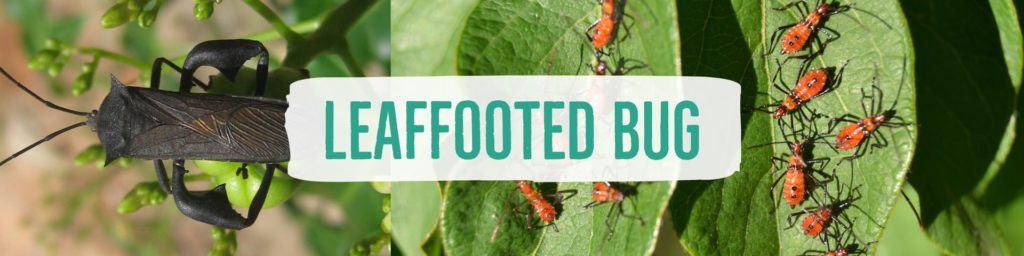 leaffootedbug-header