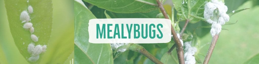 mealybugs-header2