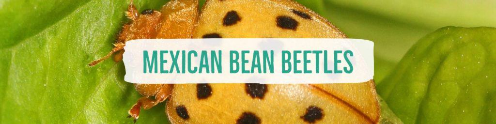 mexicanbeanbeetles-header