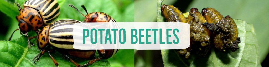 potatobeetles-header