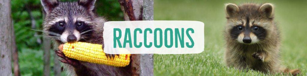 raccoons-header