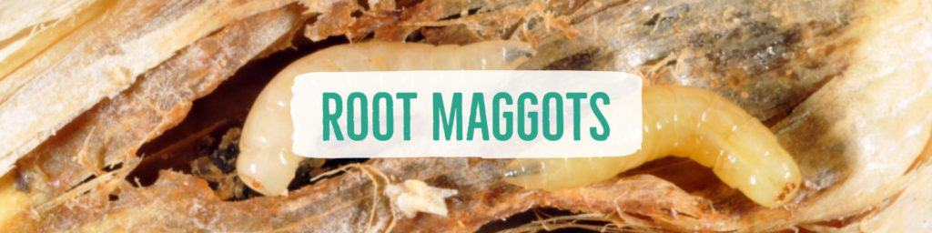 rootmaggots-header