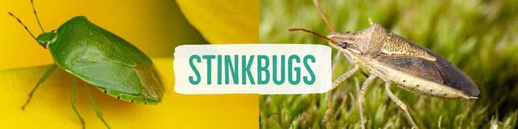 stinkbugs-header