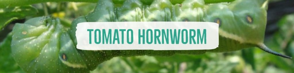 tomatohornworm-header