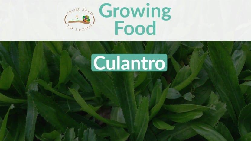 Culantro blog post
