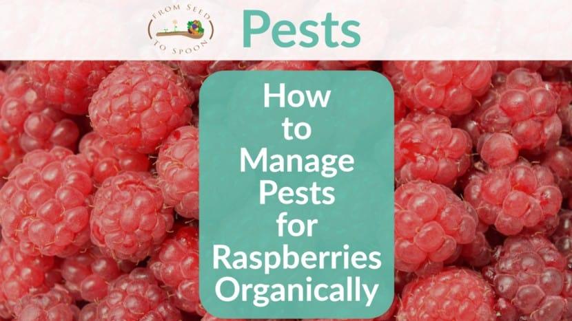 Raspberries pests header