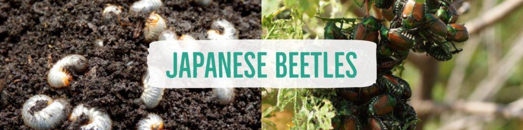 japanesebeetles-header