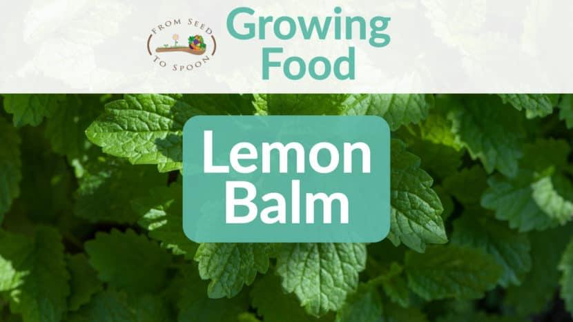 Lemon balm blog post