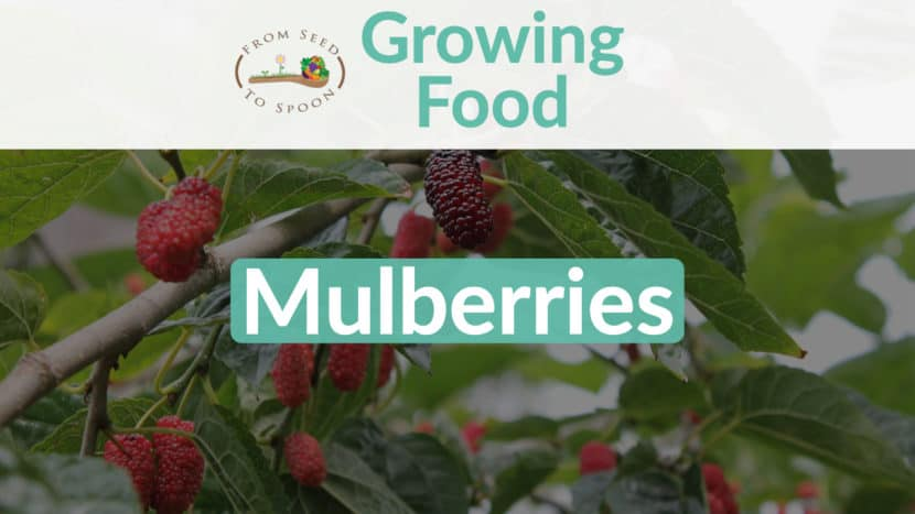 Mulberries blog post