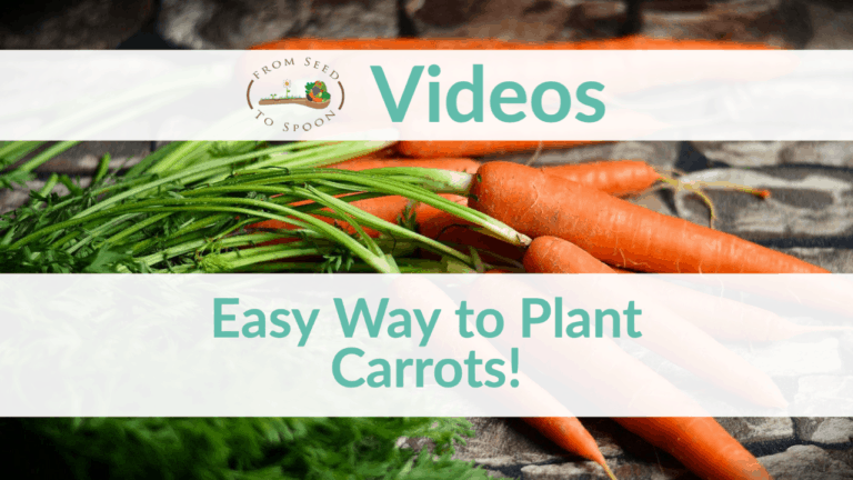 Carrots Growing Easy
